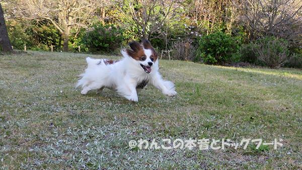 地面から低い位置で走っている愛犬の写真