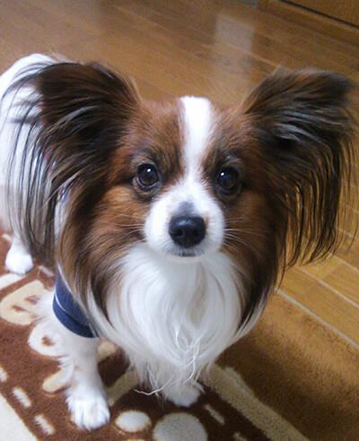 Micco.Hさん提供、愛犬パピヨン・ルーニーくんの写真