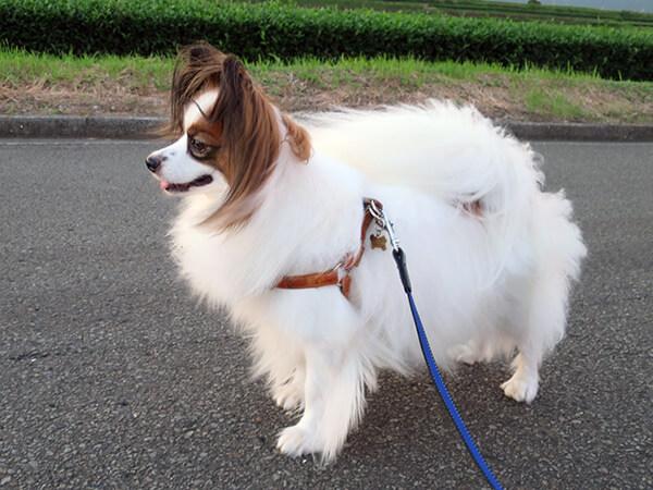 ブログ管理人の愛犬の毛量の多さを示した参考写真