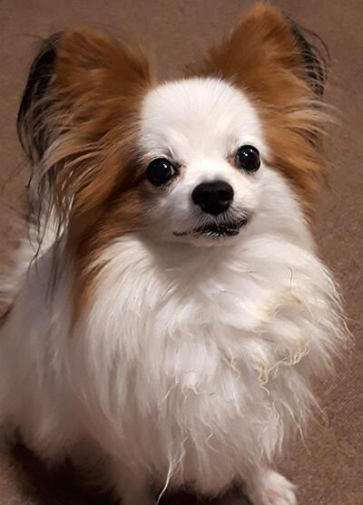 chikpさん提供、愛犬パピヨン・ハチくんの写真