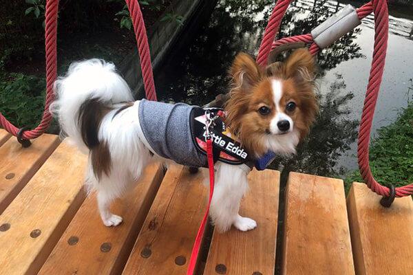 えだまめさん提供、愛犬パピヨン・エダちゃんの写真