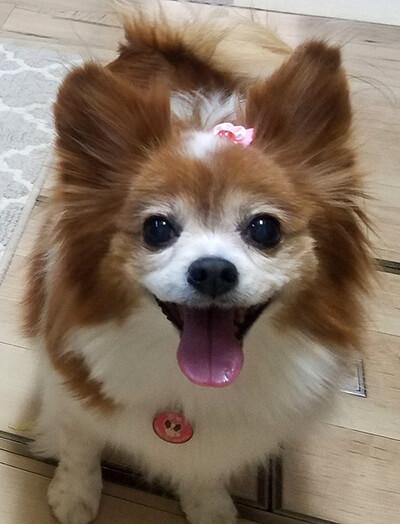ひなりゅうママさん提供、愛犬パピヨン・ひなちゃんの写真