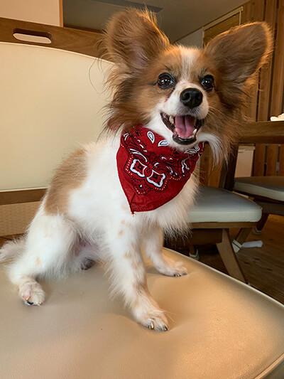星野ぴめさん提供、愛犬パピヨン・テトくんの写真