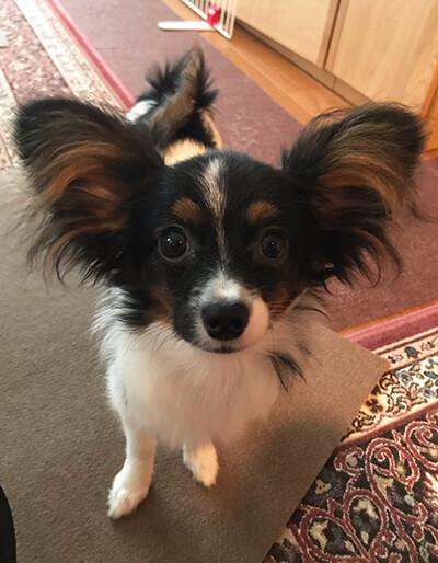 パピヨン姉妹のジルとエマさん提供、愛犬パピヨン・エマちゃんの写真