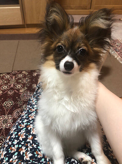 パピヨン姉妹のジルとエマさん提供、愛犬パピヨン・ジルちゃんの写真