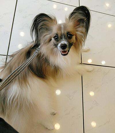 くるみさん提供、愛犬パピヨン・小町ちゃんの写真