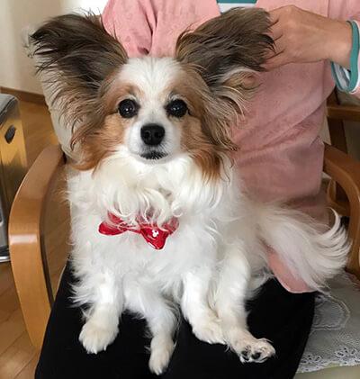 まりんこさん提供、愛犬パピヨン・まりんちゃんの写真