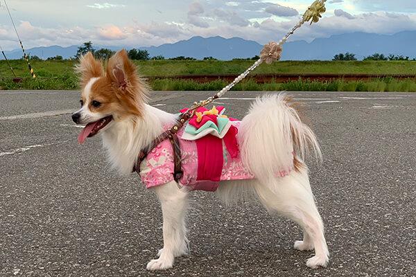 まりんこさん提供、愛犬パピヨン・ユーリちゃんの写真