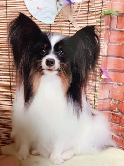 papillonままさん提供、愛犬パピヨン・えるちゃんの写真