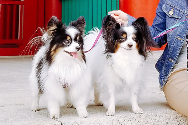 papillonままさん提供、愛犬パピヨン・シャルルくんとプリシラちゃんの写真