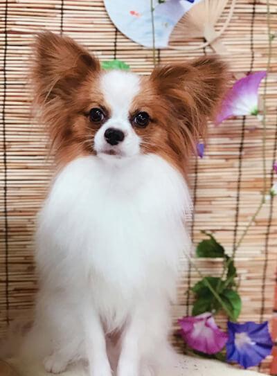 papillonママさん提供、愛犬パピヨン・しおんくんの写真