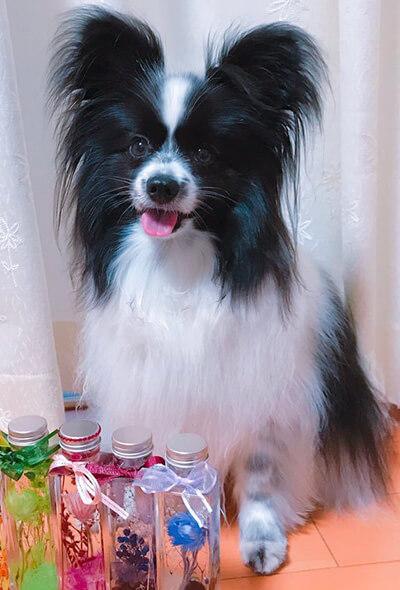 papillonままさん提供、愛犬パピヨン・そらくんの写真