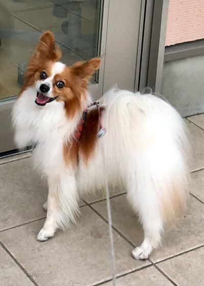 しぇんさん提供、愛犬パピヨン・グレイくんの写真