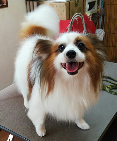 たけぽんさん提供、愛犬パピヨン・アーサーくんの写真