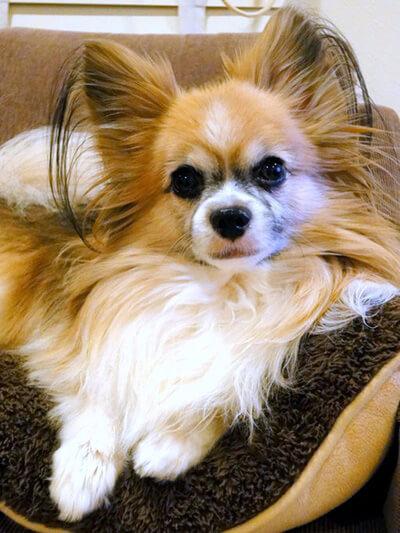 ととぼくさん提供、愛犬パピヨン・トトくんの写真